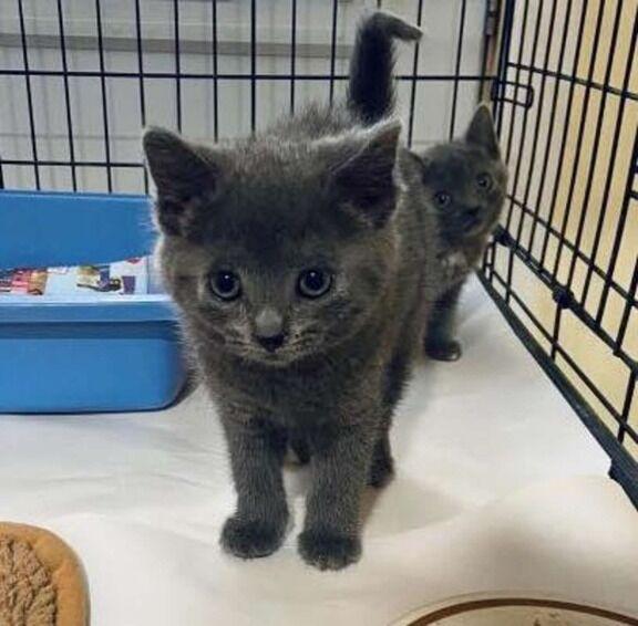 【画像あり】 保護施設で運命の人に出会えた、子猫のシュガーちゃんのお話