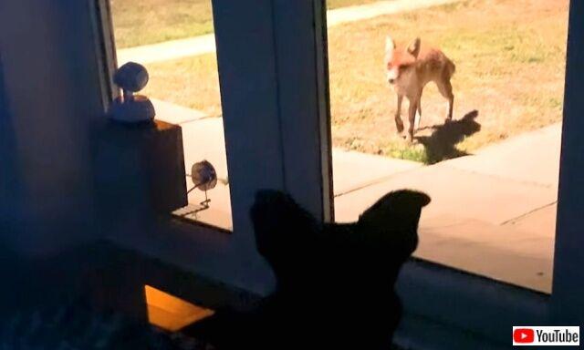 ここは安心して遊べる場所!夜ごと庭にやって来るキツネたちと、それを窓から眺める愛犬