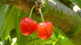 cherries-178148_1920