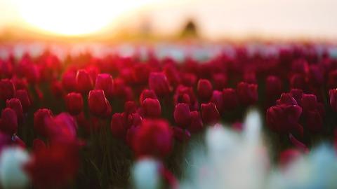 tulips_garden_4k-1280x720