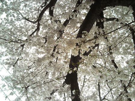 地元の桜1