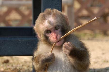 枝を食べる猿