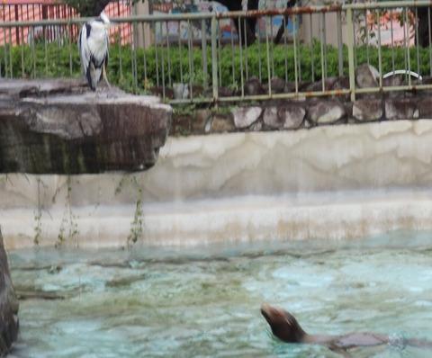 アオサギ_王子動物園