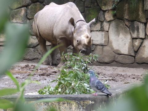 上野動物園1037_クロサイのアルゴ