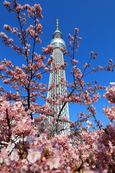 河津桜と東京スカイツリー