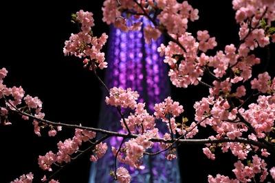 東京スカイツリーと河津桜
