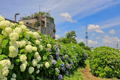 紫陽花と東京スカイツリー