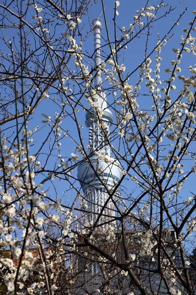 ウメと東京スカイツリー