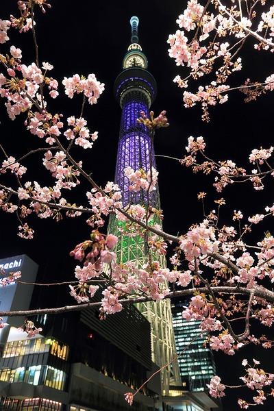 河津桜と東京スカイツリー「ラベンダー」