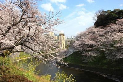 牛ヶ淵の桜