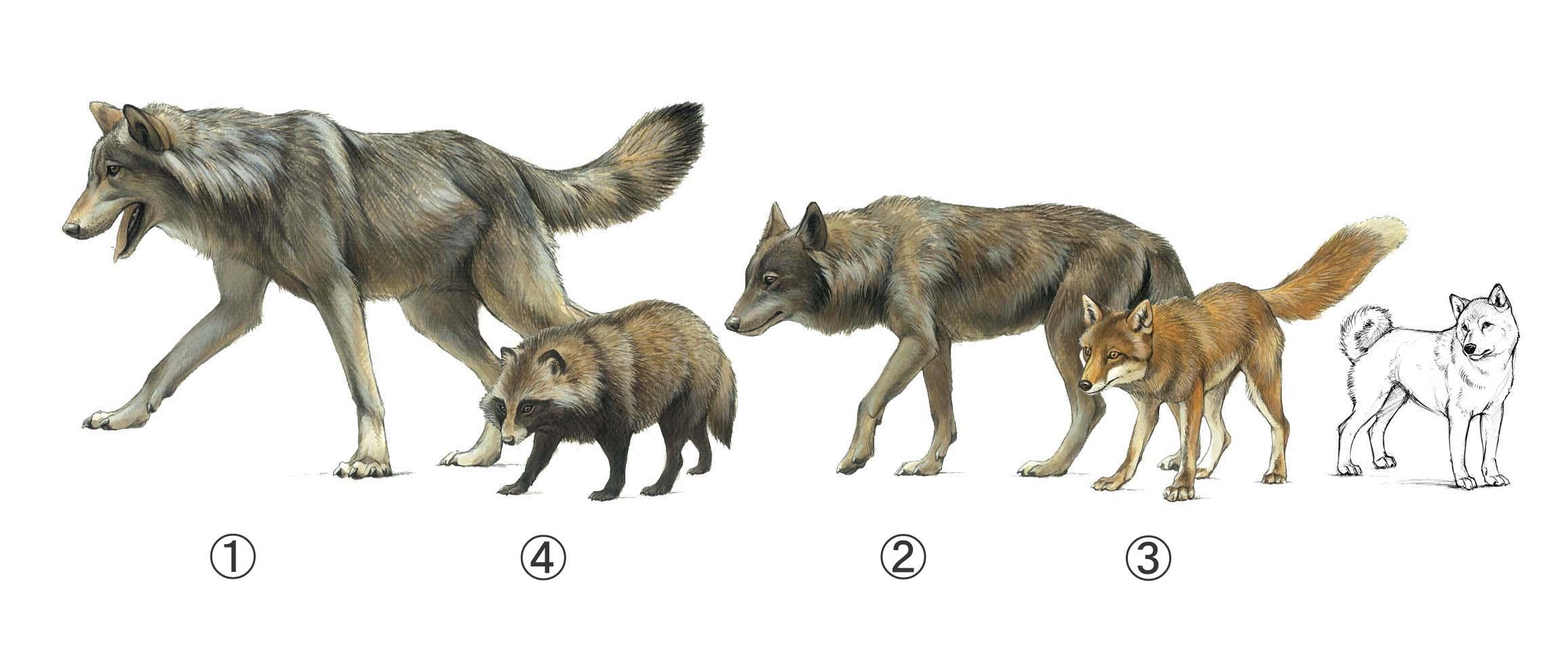 ニホンオオカミの画像 p1_22