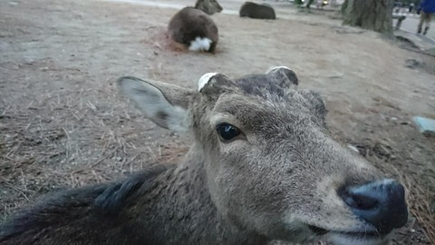 春日大社万燈籠鹿
