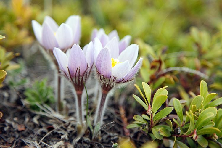 春の訪れを告げるプレイリー・クロッカス