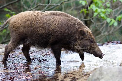 boar007
