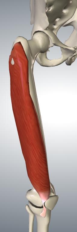 大腿外則広筋(前横)