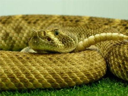 ガラガラヘビがいた
