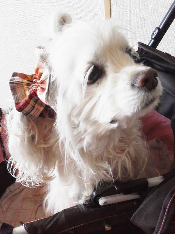 タミー10歳の誕生日プレゼントのペットカートに乗って_2