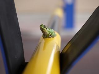 カエル発見