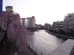 田川枝垂れ桜