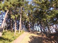 八聖殿上の松林