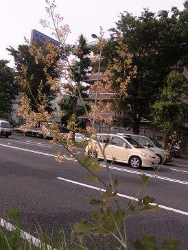 タケニグサ写真