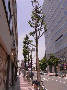 カツラ並木1