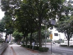 トチノキ並木道