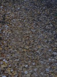 桂の落ち葉