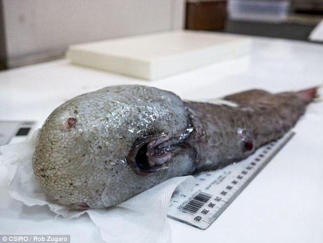 【いきもの】「世界一醜い生物」ぶよぶよさんの近縁種も捕獲、100種以上が豪深海調査で 画像閲覧注意