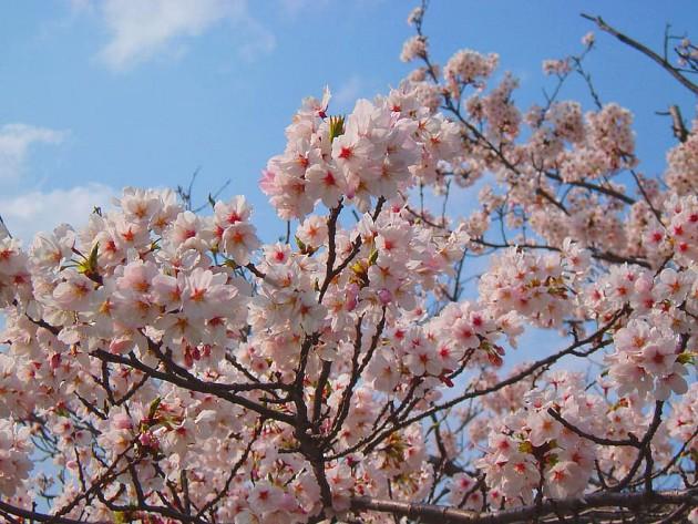 【正論】立憲「桜を見る会を辞めるなら理由が必要。やましい事がないなら続けるはずでは?」