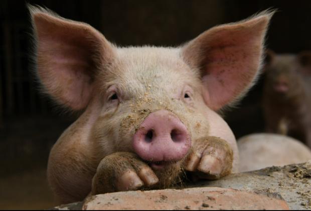 米国から大豆途絶え、中国の豚が死んだ~貿易紛争の果て~