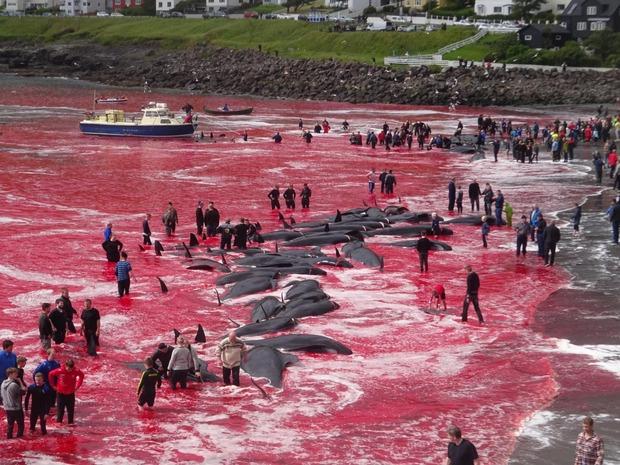 【鯨】デンマーク領フェロー諸島でクジラ狩り。海は血の色、子供は死体の上で飛び跳ねる