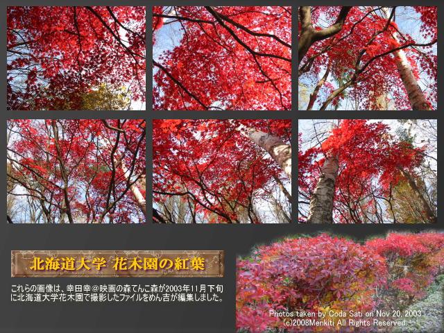 「映画の森てんこ森」の「シャイな幸の独り言」ページ「北海道大学花木園の紅葉」で未公開の紅葉の写真集@キャツピ&めん吉の【ぼろくそパパの独り言】     ▼クリックで640x480pxlsに拡大します。