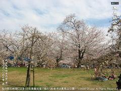 和泉市黒鳥山公園の桜(8)和泉市黒鳥山公園花見画像