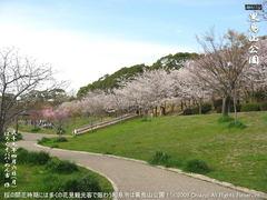 和泉市黒鳥山公園の桜(9)和泉市黒鳥山公園花見画像
