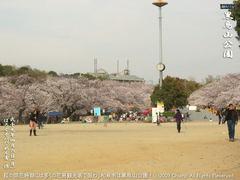 和泉市黒鳥山公園の桜(5)和泉市黒鳥山公園花見画像