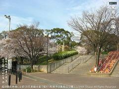 和泉市黒鳥山公園の桜(10)和泉市黒鳥山公園花見画像