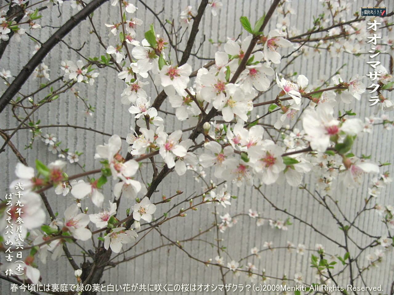 3/26(木)【オオシマザクラ・大島桜】春今頃には裏庭で緑の葉と白い花が共に咲くこの桜はオオシマザクラ?@キャツピ&めん吉の【ぼろくそパパの独り言】     ▼クリックで1280x960pxlsに拡大します。
