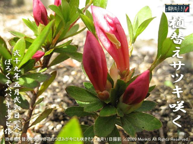 5/26(火)【植替えサツキ】昨年玄関花壇に2本だけ植え替えた細く痩せたサツキの花が立派に咲いた! @キャツピ&めん吉の【ぼろくそパパの独り言】     ▼クリックで元の画像が拡大します。