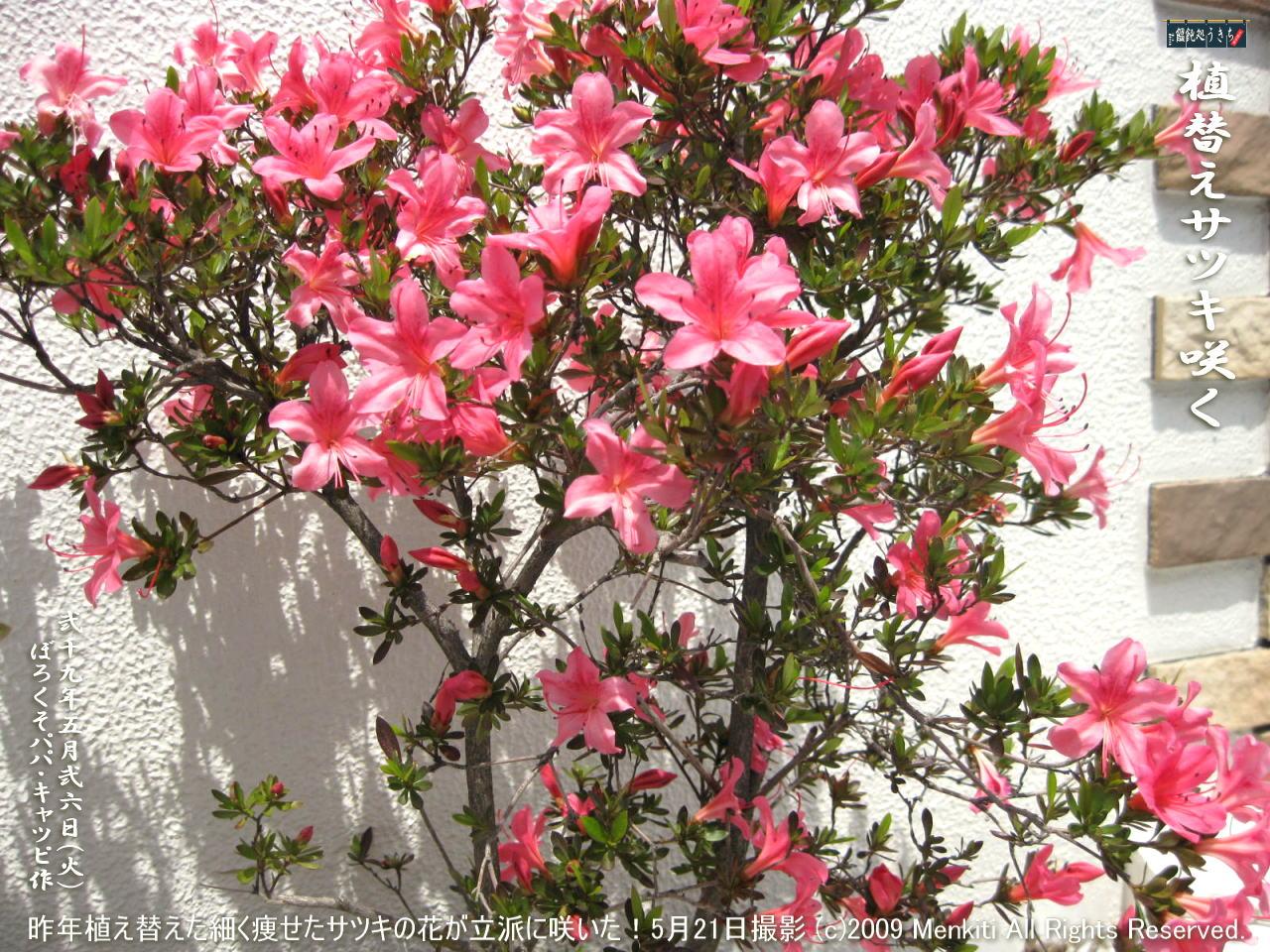5/26(火)【植替えサツキ】昨年玄関花壇に2本だけ植え替えた細く痩せたサツキの花が立派に咲いた! @キャツピ&めん吉の【ぼろくそパパの独り言】▼マウスオーバー(カーソルを画像の上に置く)で別の画像に替わります。    ▼クリックで1280x960画像に拡大します。
