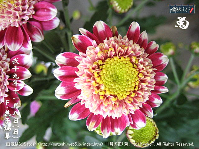 11/8(日)【菊】画像は(c)Satoshi<http://satoshi.web5.jp/index.htm> 11月の花「菊」 (c)2009 KyokoF. All Rights Reserved. @キャツピ&めん吉の【ぼろくそパパの独り言】 ▼マウスオーバー(カーソルを画像の上に置く)で別の画像に替わります。     ▼クリックで1280x960画像に拡大します。