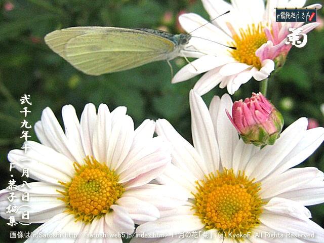 11/8(日)【菊】画像は(c)Satoshi<http://satoshi.web5.jp/index.htm> 11月の花「菊」 (c) KyokoF. All Rights Reserved. @キャツピ&めん吉の【ぼろくそパパの独り言】      ▼クリックで元の画像が拡大します。