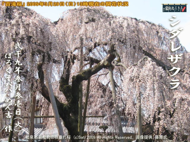 3/31(火)【桜開花状況】和泉市若樫町の枝垂桜(枝垂れ桜)「百滝桜」2009年3月29日(日)現在の開花状況メールを頂きました!@キャツピ&めん吉の【ぼろくそパパの独り言】     ▼クリックで元の画像が拡大します。