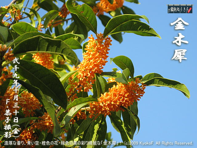 10/30(金)【金木犀】濃厚な香り、青い空・橙色の花・緑色の葉の彩り綺麗な「金木犀」! (c)2009 KyokoF. All Rights Reserved. @キャツピ&めん吉の【ぼろくそパパの独り言】      ▼クリックで元の画像が拡大します。