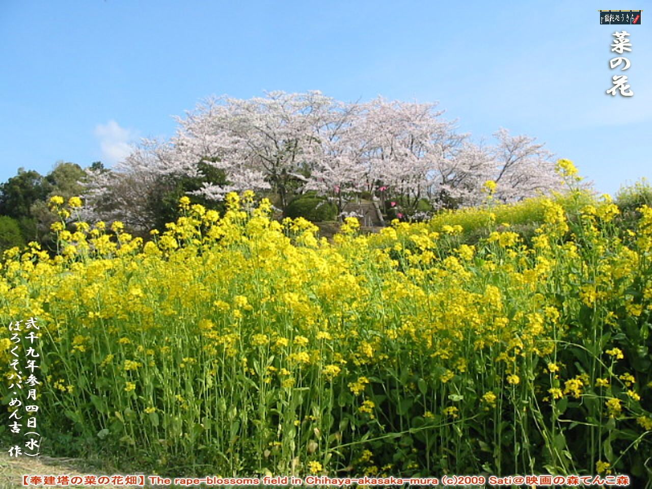 3/4(水)菜の花【奉建塔の菜の花畑】 The rape-blossoms field in Chihaya-akasaka-mura (c)2009 Sati@映画の森てんこ森 @キャツピ&めん吉の【ぼろくそパパの独り言】    ▼クリックで1280x960pxlsに拡大します。