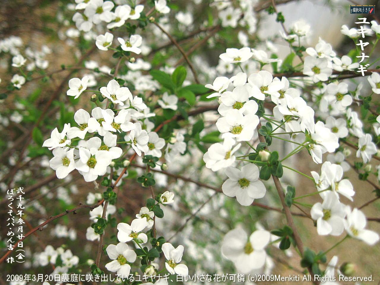 3/20(金)【ユキヤナギ】2009年3月20日裏庭に咲き出しているユキヤナギ、小さな蕾と白い花が可憐!@キャツピ&めん吉の【ぼろくそパパの独り言】     ▼クリックで1280x960pxlsに拡大します。