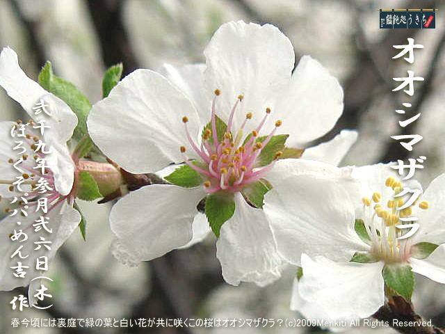 3/26(木)【オオシマザクラ・大島桜】春今頃には裏庭で緑の葉と白い花が共に咲くこの桜はオオシマザクラ?@キャツピ&めん吉の【ぼろくそパパの独り言】      ▼クリックで元の画像が拡大します。