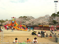 和泉市黒鳥山公園の桜(6)和泉市黒鳥山公園花見画像