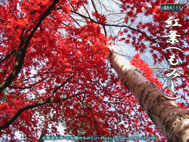 「映画の森てんこ森」の「シャイな幸の独り言」ページ「北海道大学花木園の紅葉」の写真をめん吉が紹介します@キャツピ&めん吉の【ぼろくそパパの独り言】       ▼クリックで拡大します。