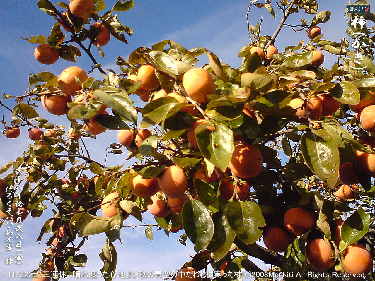 11/22(土)三連休、晴れ渡った心地よい秋の青空の中たわわに実った柿@キャツピ&めん吉の【ぼろくそパパの独り言】    ▼クリックで640x480pxlsに拡大します。